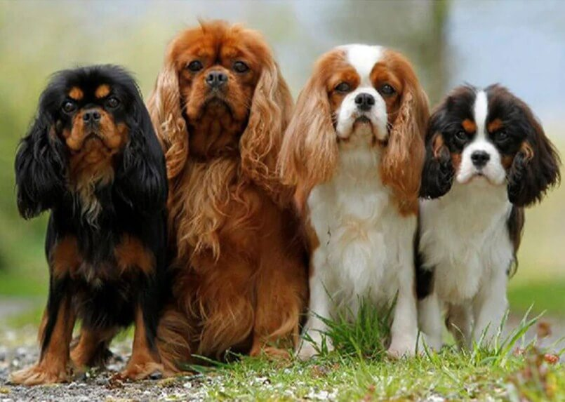 Cavalier King Charles Spaniel Puppies – All Diamond Painting