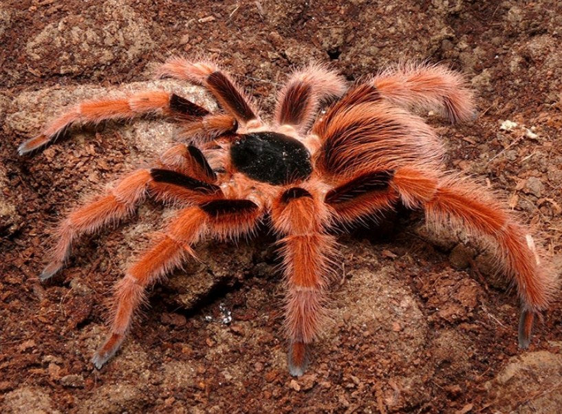Colombian Giant Red Leg Tarantula Diamond Painting