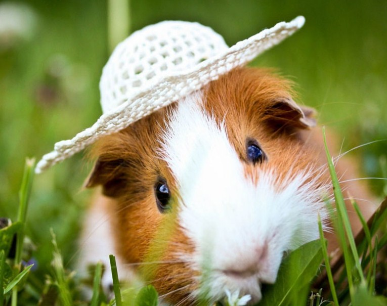 Cute Guinea Pig in Hat Diamond Painting
