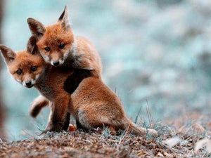 Fox Cubs Playing Diamond Painting