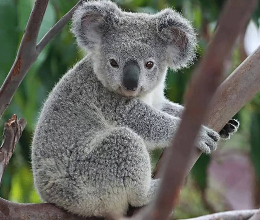 Koala Diamond Painting
