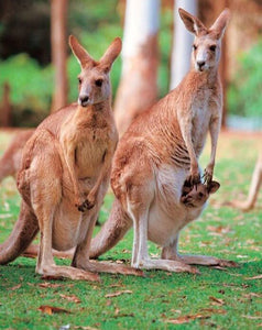 Kangaroo Diamond Painting Kit