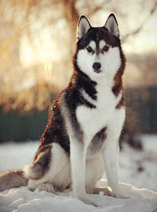 Snow Husky Paint by Diamonds