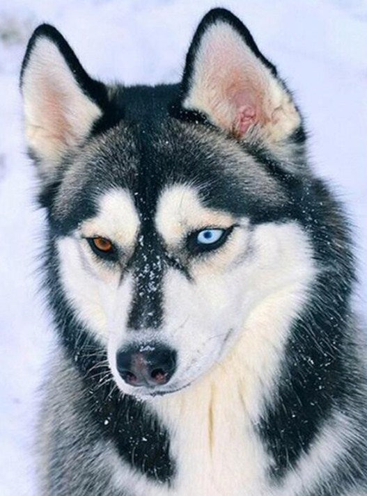 Husky with Different Colored Eyes Diamond Painting