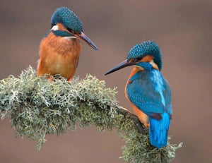 Kingfisher Pair Diamond Painting