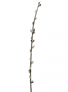 Pussy Willow - 100cm