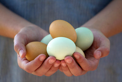 Your Guide to Chicken Egg Production