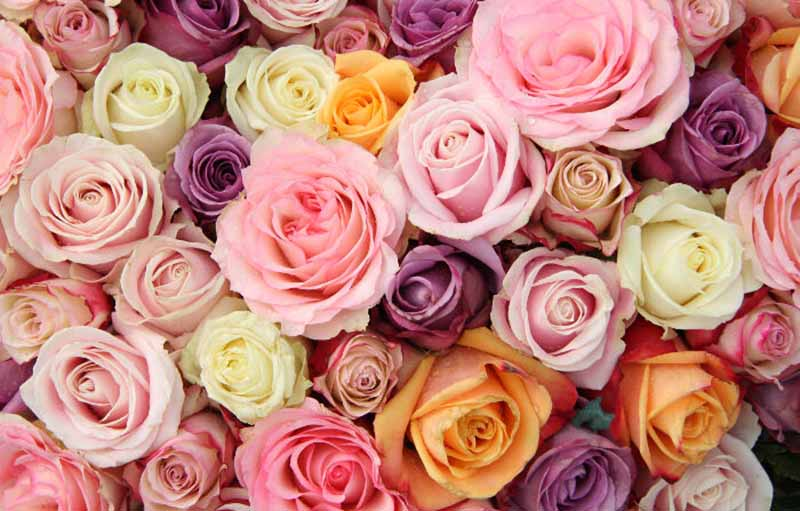 8 Rose Colours Meaning and What They Symbolize