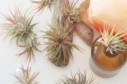 Air Plants are one of the desktop plant ideas for Your Home Office