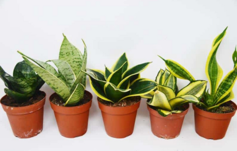 Compact Snake Plant only need small water and light which its perfect for your home office