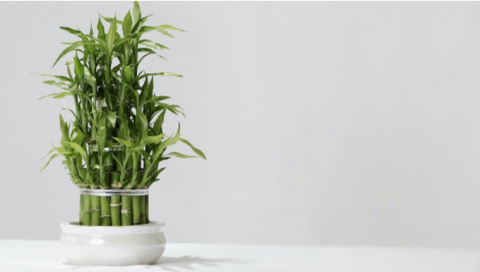 lucky bamboo is easy to take care as a office plant