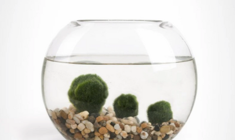 Moss Balls dont need maintenance is best for home office