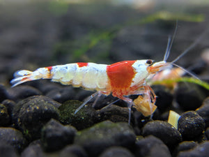 Crystal Shrimp Golden Bee Trio Pack (12 Shrimps) - shrimpy-business