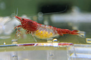 Red RIli Shrimp - shrimpy-business