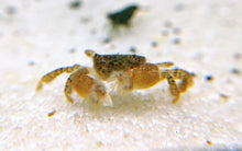 Load image into Gallery viewer, Freshwater Pom Pom Crab - shrimpy-business
