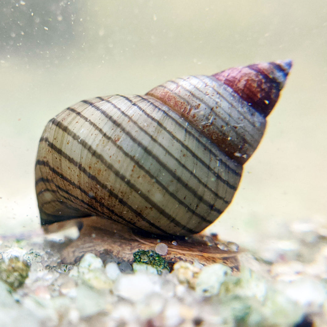 Stripped Wizard Snail