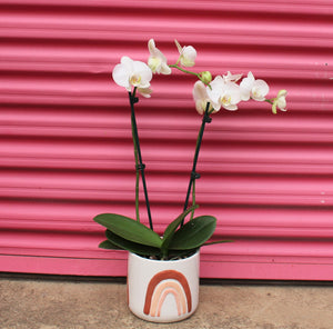 Phalaenopsis in rainbow pot
