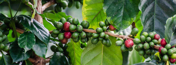 Where It All Began: The History Behind Ethiopian Coffee