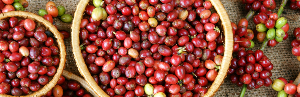 A table with coffee cherries still on their vines and two woven baskets filled to the brim with picked coffee cherries.