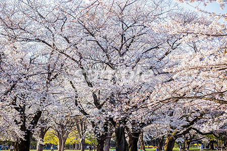 公園と桜の満開(The cherry blossoms in the park japan) b0010111PH