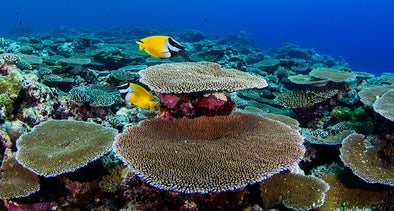 Shallow reef species may not find refuge in deeper water habitats