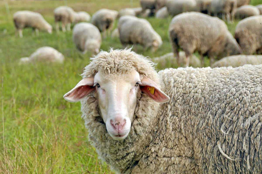 Sheep in nature on meadow   Acetyl-L-Carnitine: The Lesser Known Cousin   acetyl l carnitine vs l carnitine