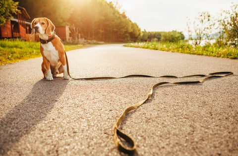 lost beagle sits in road with leash on the ground