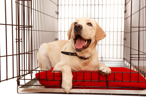 Yellow Lab in Dog Crate