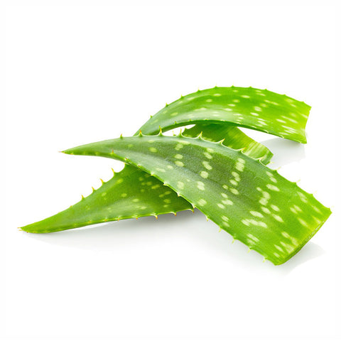Aloe vera Leaves Powder  Aloe barbadensis