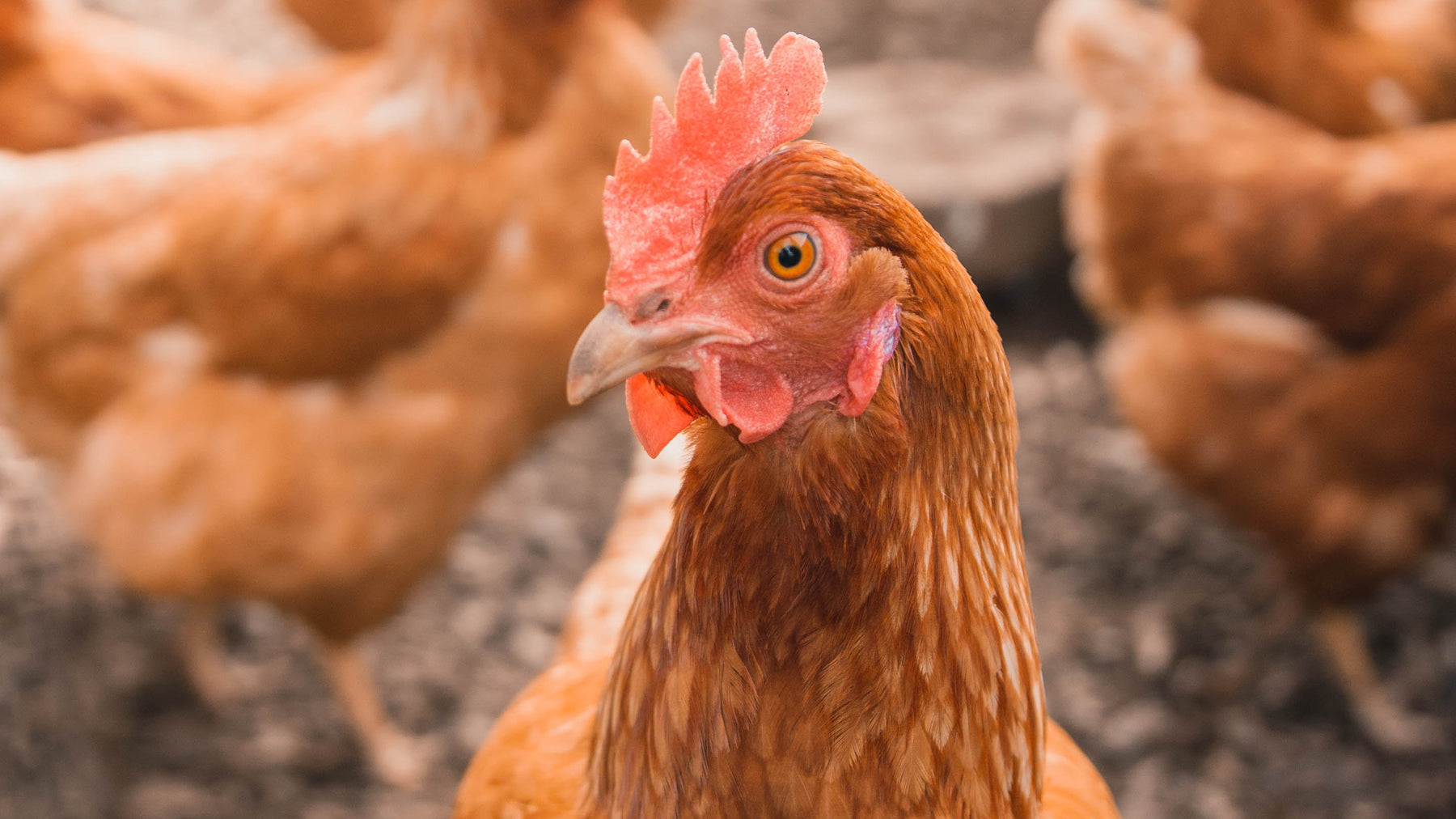 Hot Weather Tips for Raising Poultry
