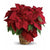 Locally Grown Poinsettias