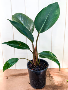 *NEW* Philodendron Congo