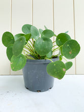 Load image into Gallery viewer, Pilea Peperomioides - Chinese Money Plant