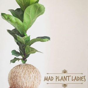 Fiddle leaf Fig Kokedama