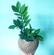 Load image into Gallery viewer, Zanzibar Gem Kokedama