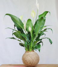 Load image into Gallery viewer, Peace Lily Kokedama