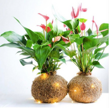 Load image into Gallery viewer, Anthurium Kokedama