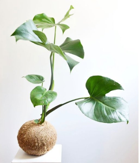 Monstera Deliciosa Kokedama