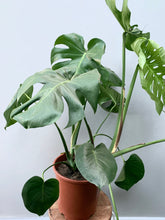 Load image into Gallery viewer, *NEW* Monstera Deliciosa