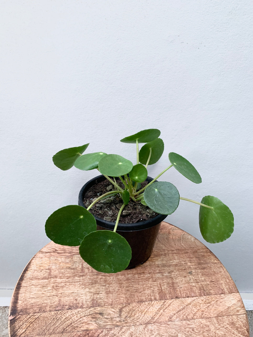 Pilea Peperomioides - Chinese Money Plant
