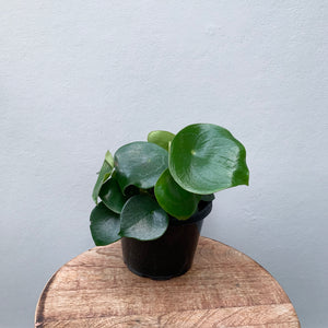 *NEW* Peperomia Raindrops