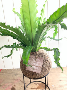 Asplenium Antiquum 'Victoria' - Ruffled Birds Nest Fern