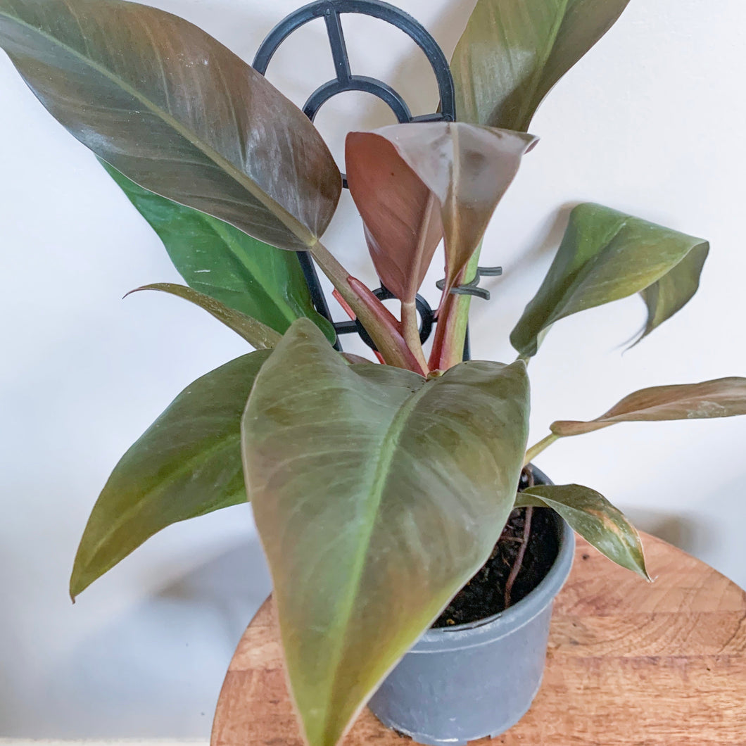 *NEW* Philodendron McColleys Finale