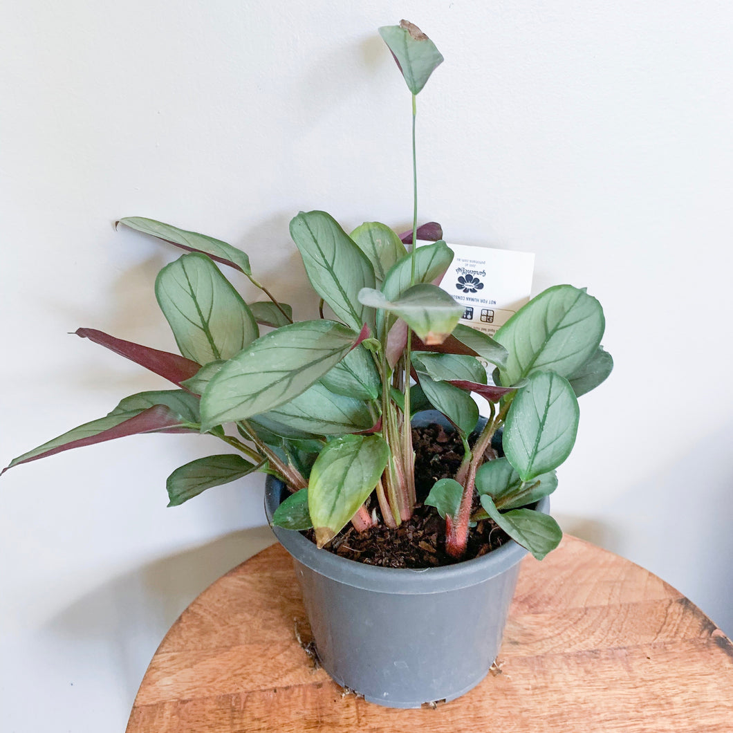 *NEW* Ctenanthe Grey Star