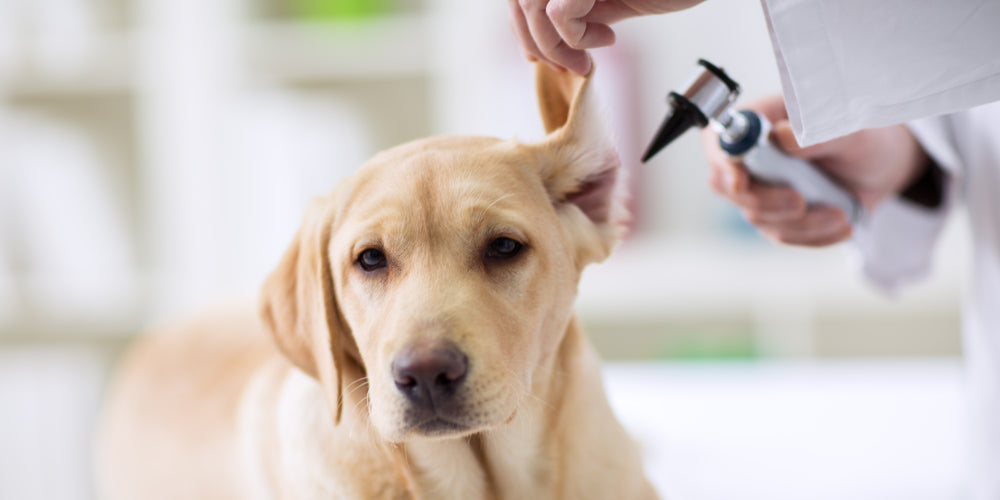 Top Tips to Help your Dog's Ears Stay Squeaky Clean