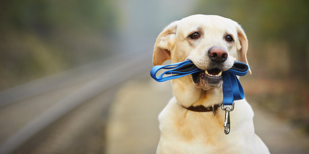 Easy Tips to Teach Your Dog to Walk Well on a Leash