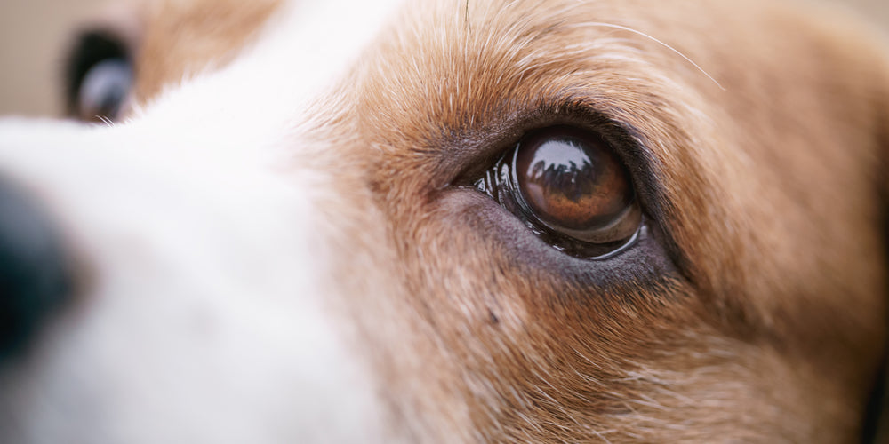 How To Know If Your Dog Is Losing its Vision