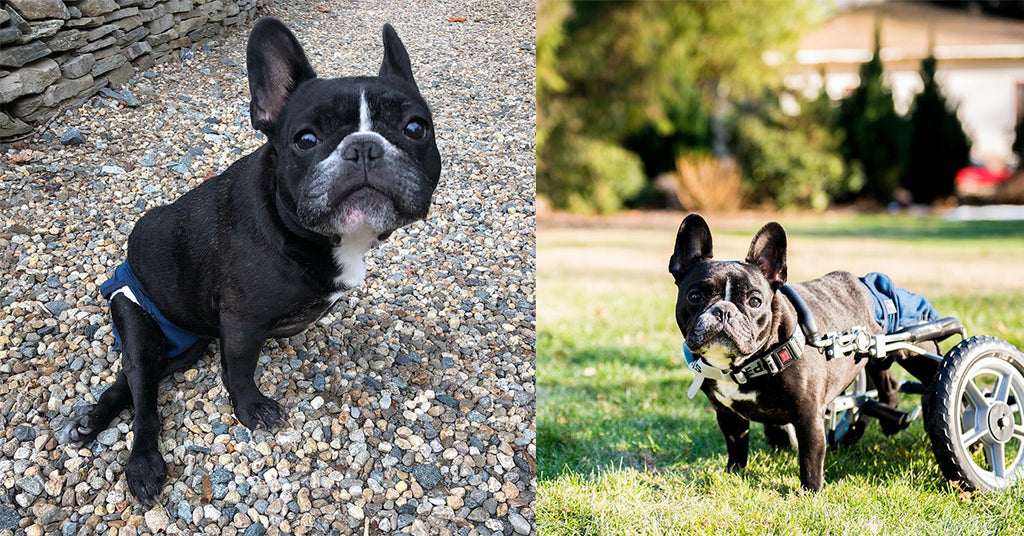 Ivy the French Bulldog Was Paralyzed From IVDD, but She Didn't Give Up!