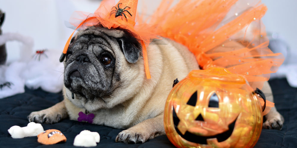Dogs Trick or Treats What To Do If Your Dog Gets In The Candy Jar