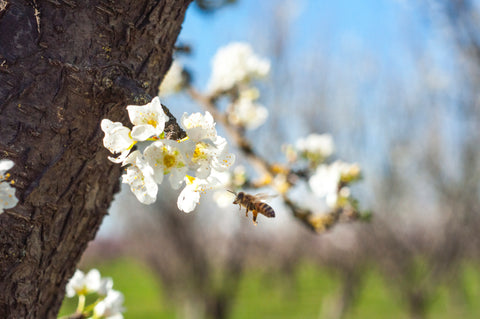 Bee on apricot blossom at Frog Hollow Farm